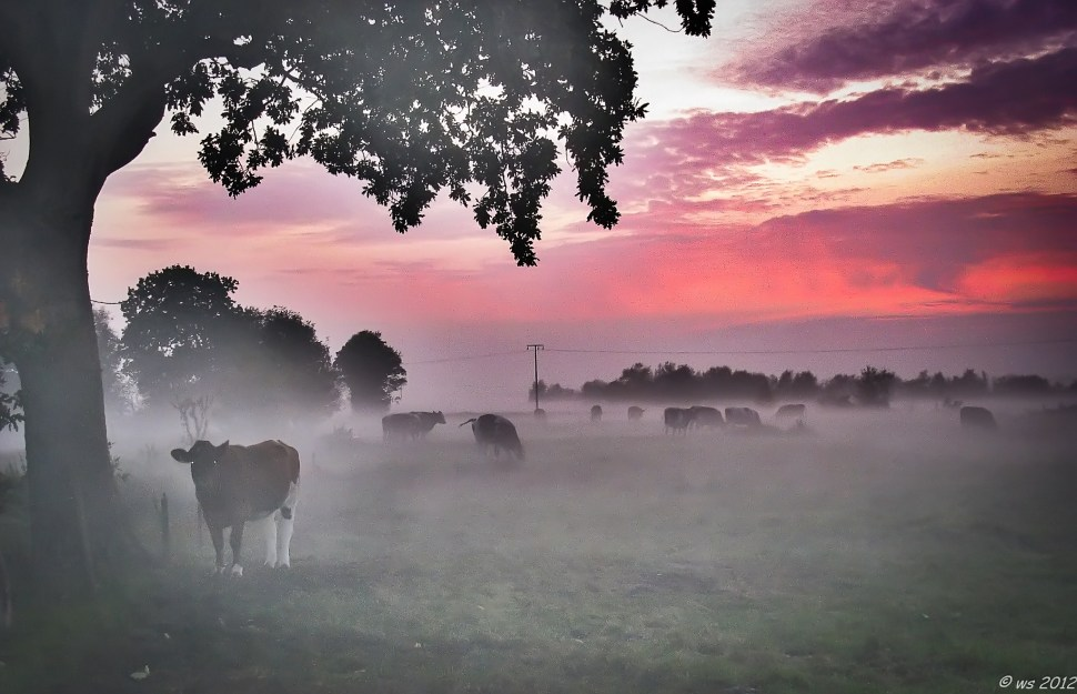foggy cows