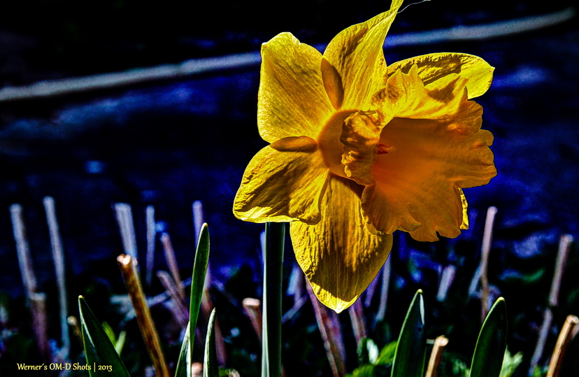 daffodil in blue