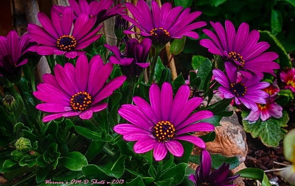 Cape Daisies Bouquet