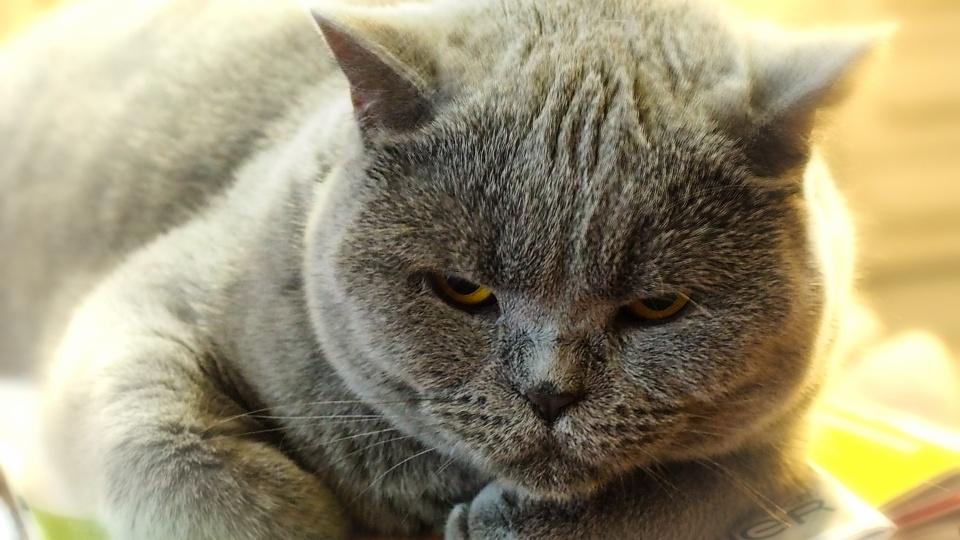 Monday Morning Lazy Blue Cat