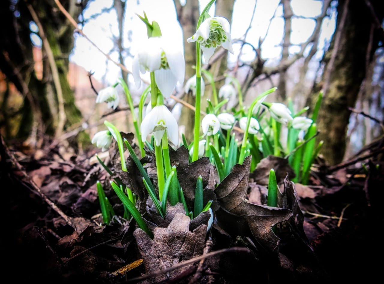 another place - another snowdrops...