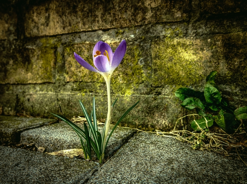 IMG_0188_HDR-lonely.crocus