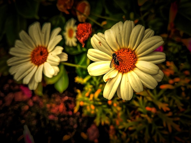 daisy colors