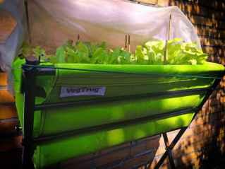 green patch - beet