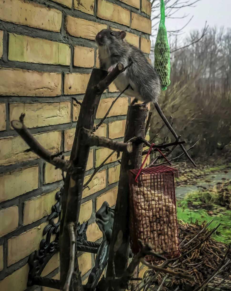 ratty adventure