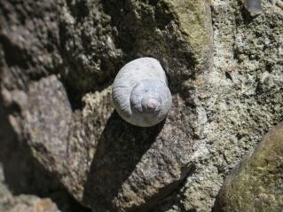 pale snail